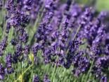 Insektenfreundliche Pflanzen: Was Bienen, Hummeln & Co wirklich schmeckt 5