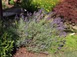 Lavendel pflanzen - Tipps und Ideen 3