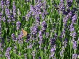 Insektenfreundliche Pflanzen: Was Bienen, Hummeln & Co wirklich schmeckt 7