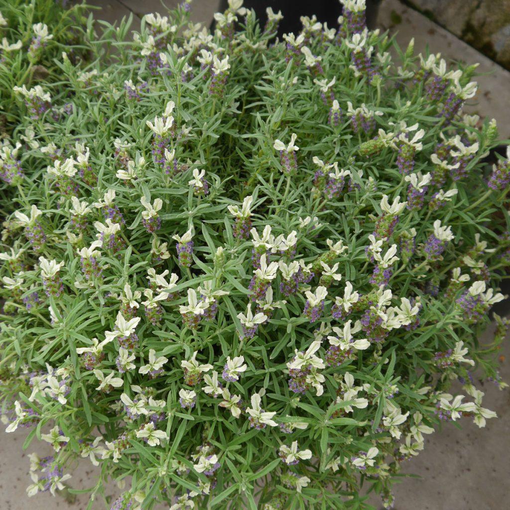 Lavendel pflanzen - Tipps und Ideen 20