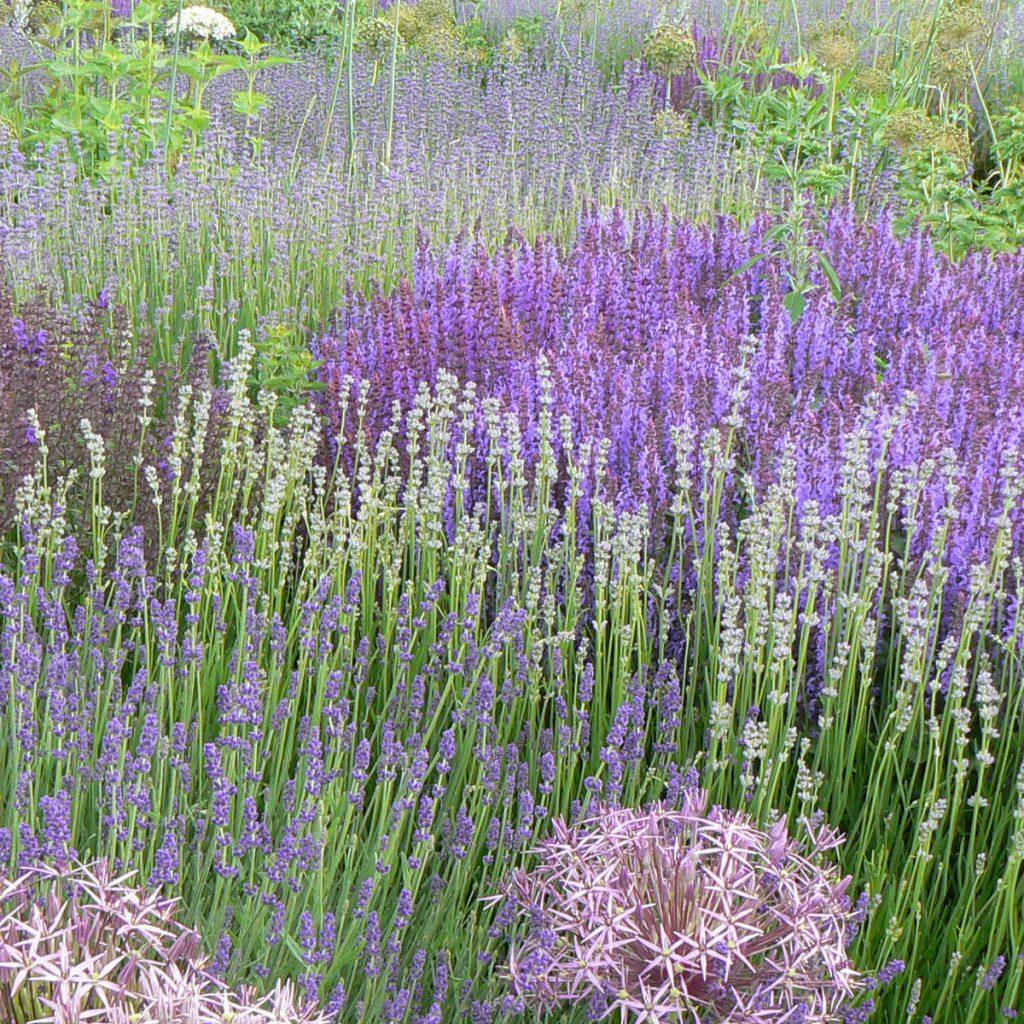 Lavendel pflanzen - Tipps und Ideen 1