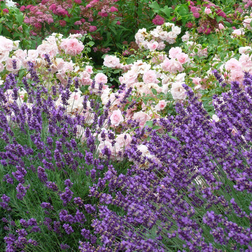 Lavendel pflanzen - Tipps und Ideen 10