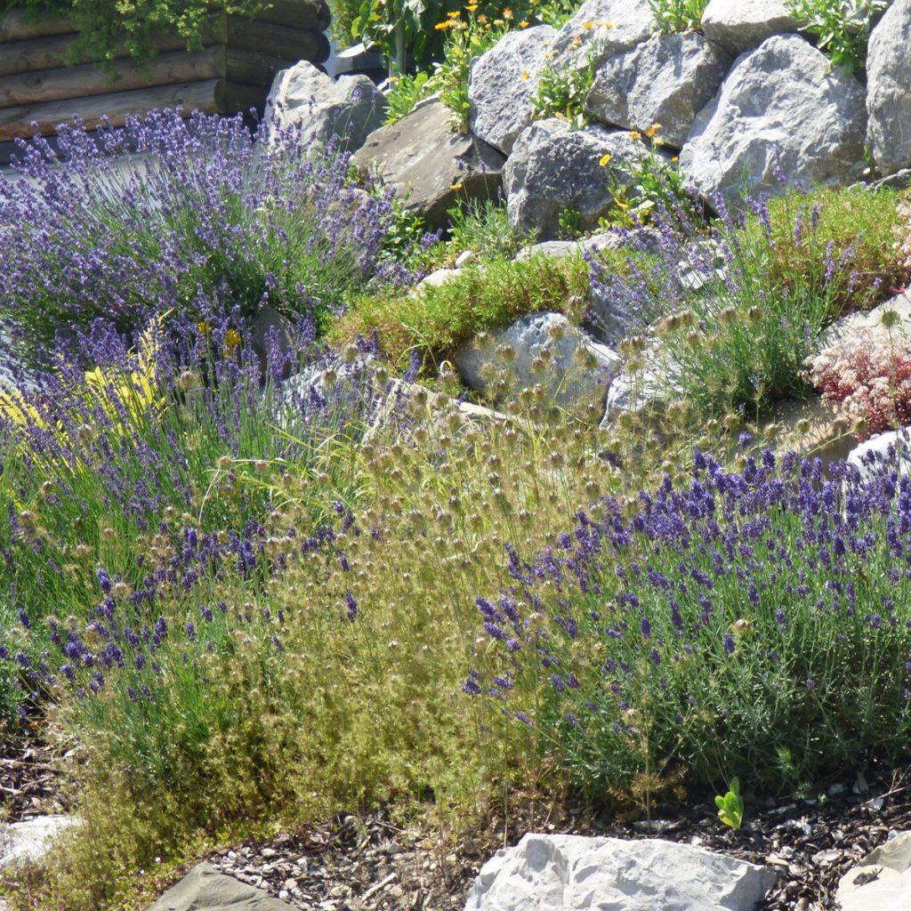 Lavendel pflanzen - Tipps und Ideen 21