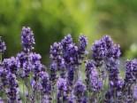 Lavendel pflanzen - Tipps und Ideen 11