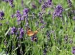 Lavendel pflanzen - Tipps und Ideen 15