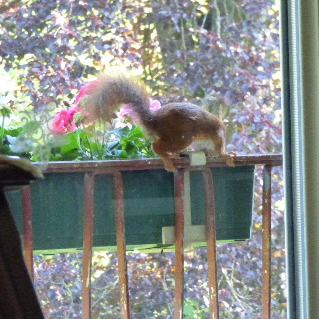 Eichhörnchen auf dem Balkon
