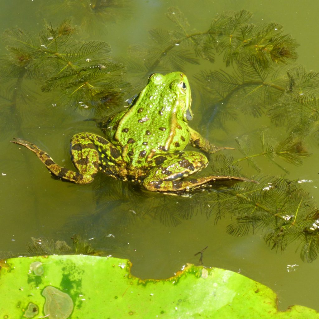 Wie kommen Frösche in den Teich?