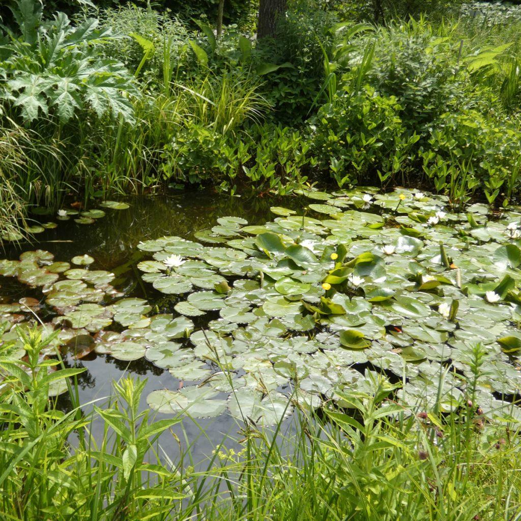 Frösche im Garten halten – so kommt Leben an den Teich 6