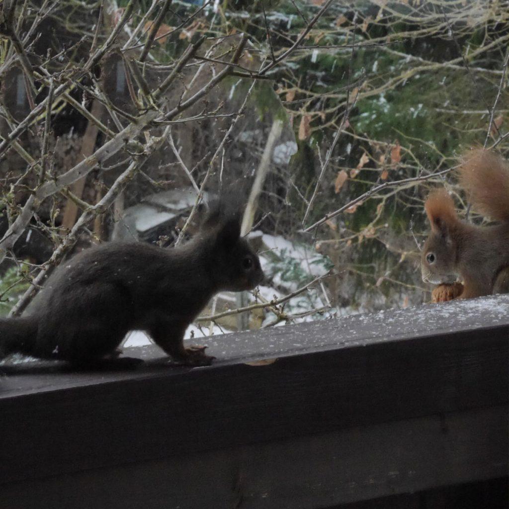 Schwarze Eichhörnchen - Vorsicht Verwechslungs-Gefahr 10