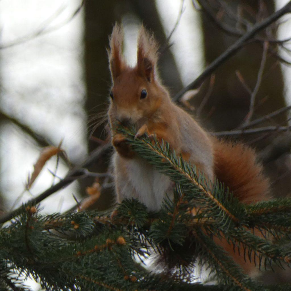 Wo schlafen Eichhörnchen eigentlich? 2