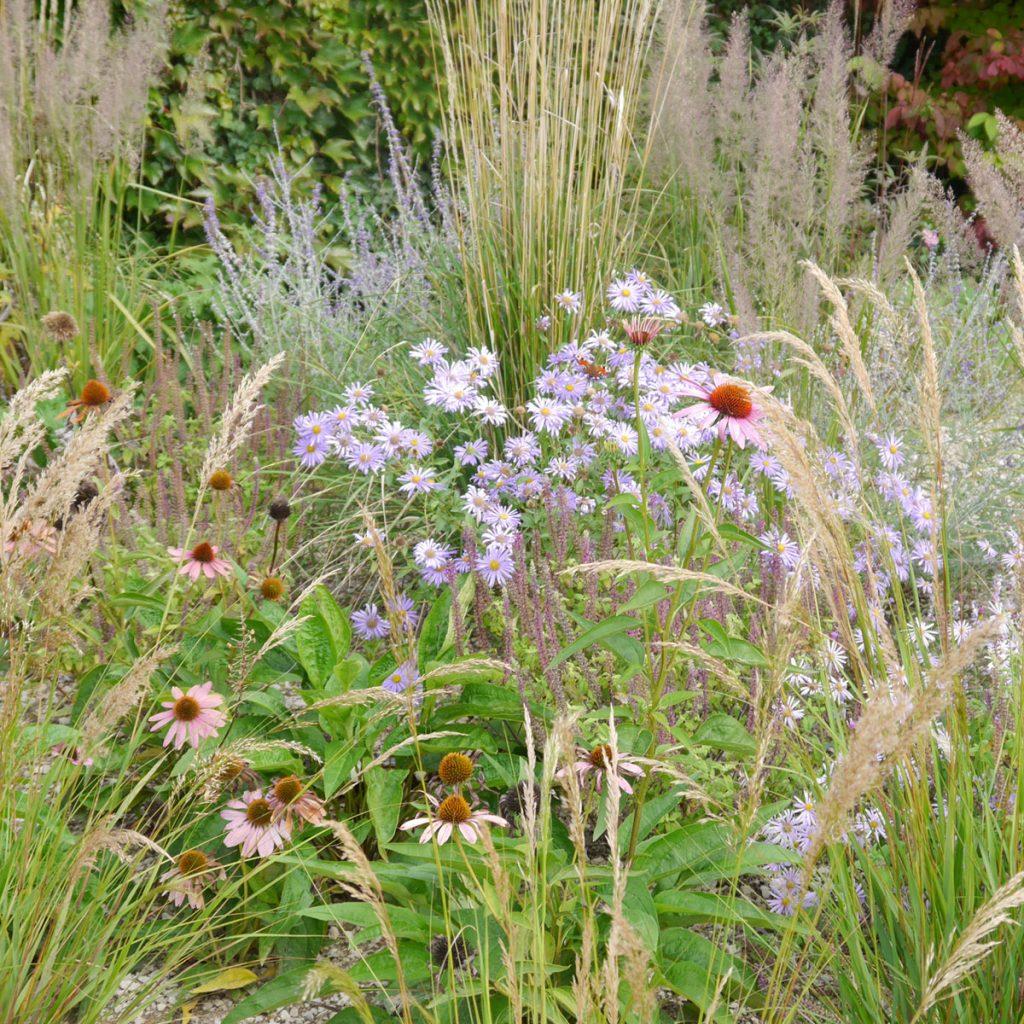 Gräser mit Astern, Echinacea und Blaurauten