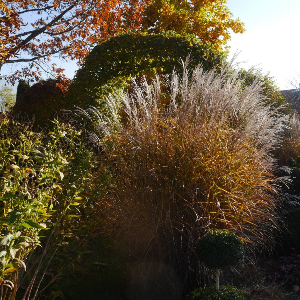 Miscanthus im Herbst
