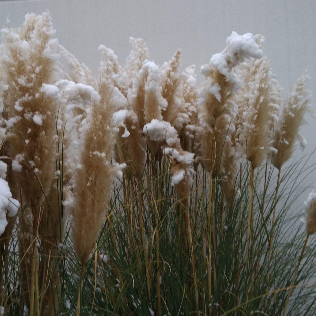 Pampasgras im Winter