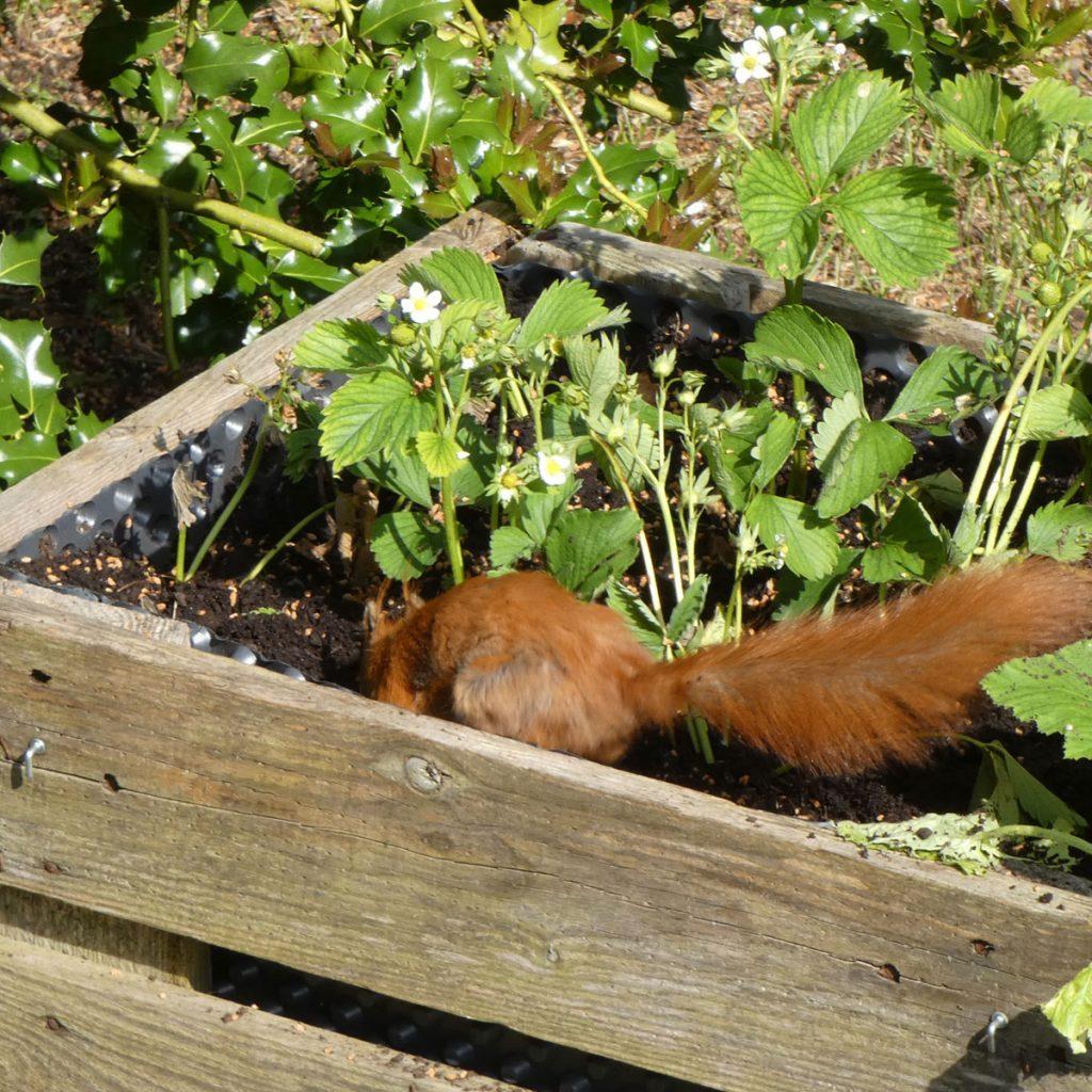 Eichhörnchen im Hochbeet
