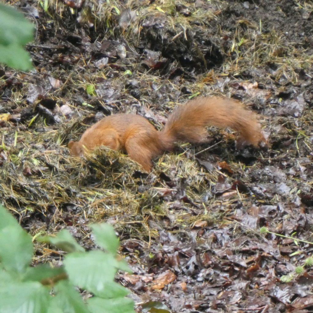 Eichhörnchen auf Nahrungssuche