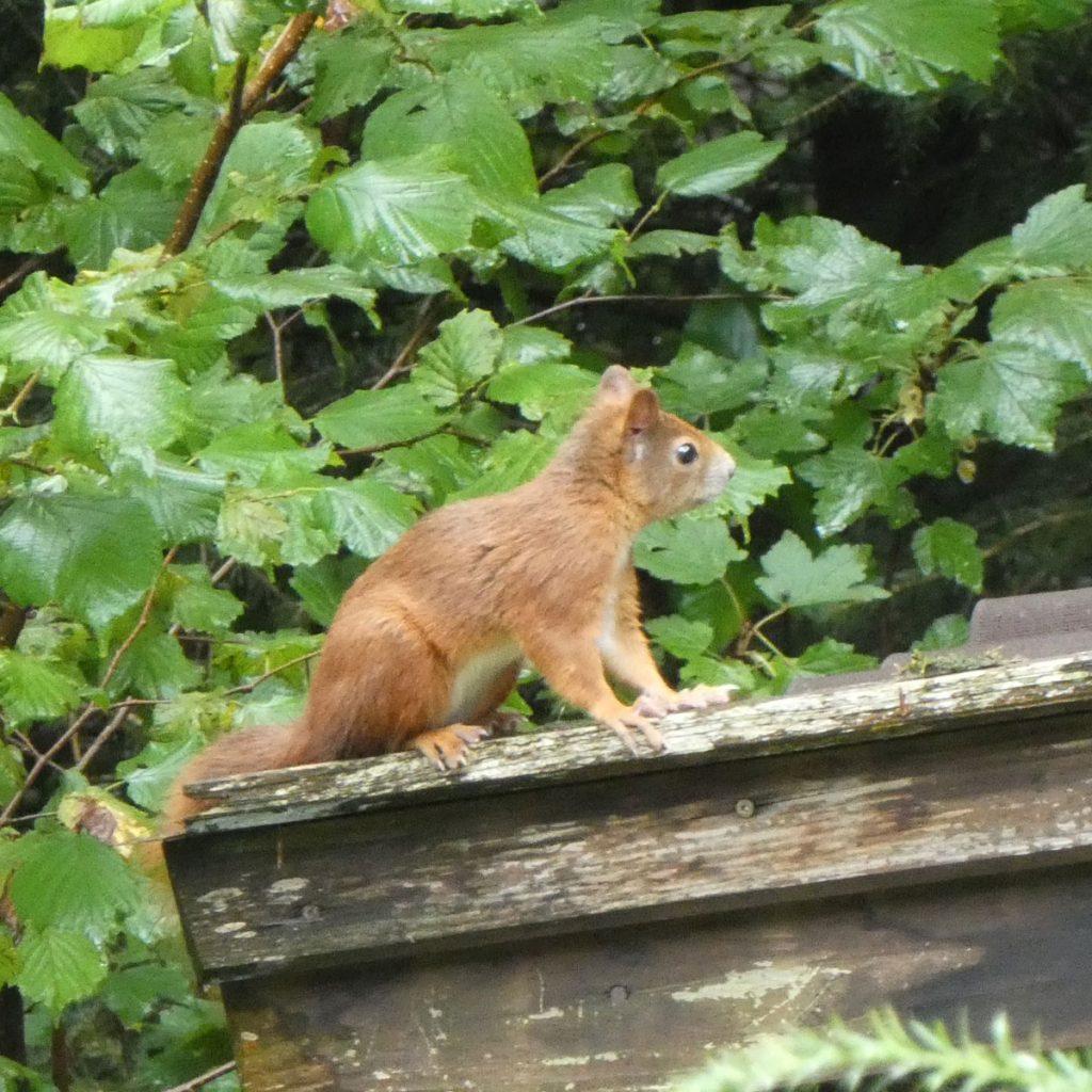 Eichhörnchen Verhalten