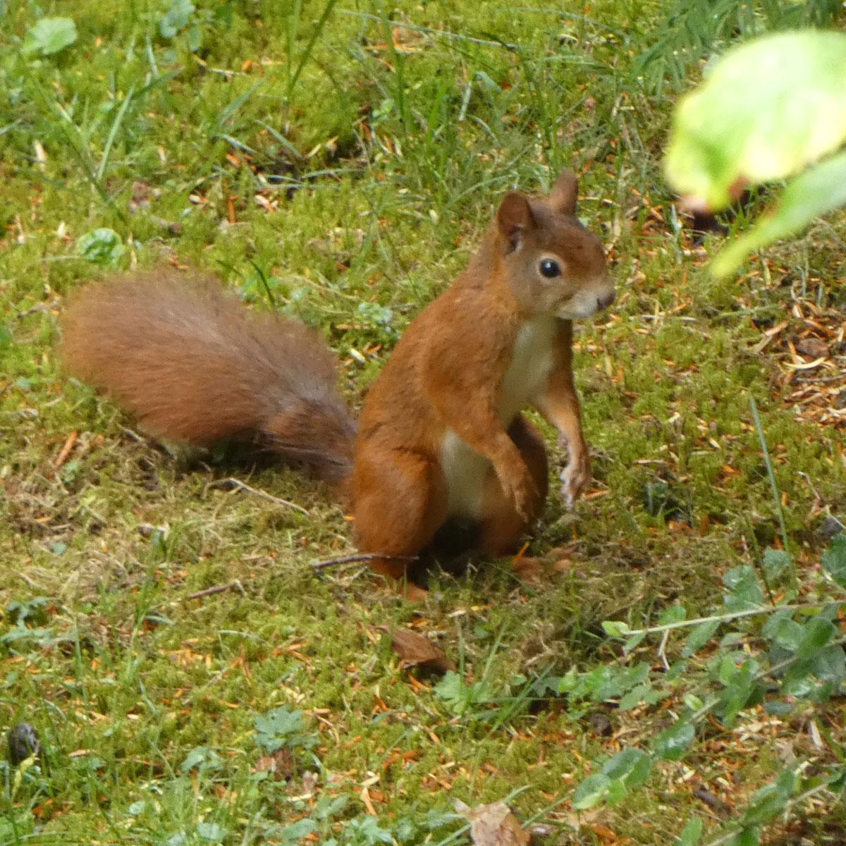 Eichhörnchen Verhalten: Eichhörnchen steht aufrecht
