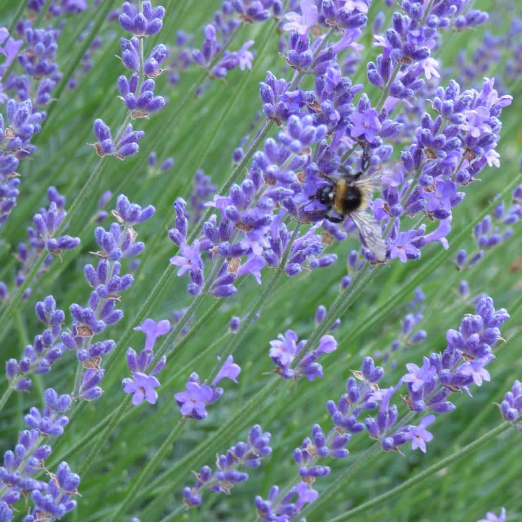 insektenfreundliche Pflanzen: Lavendel