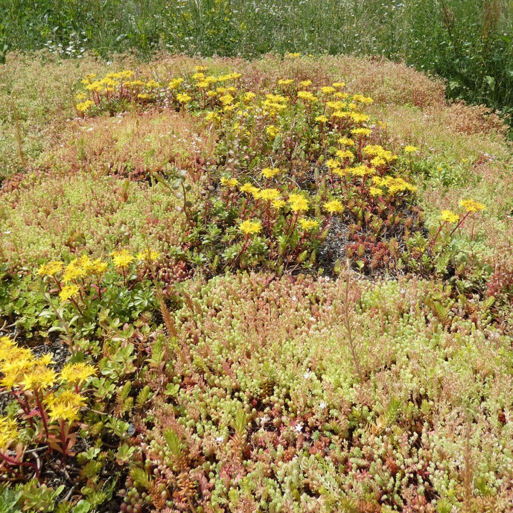 Pflanzen Dachbegrünung: Sedum und sempervivum