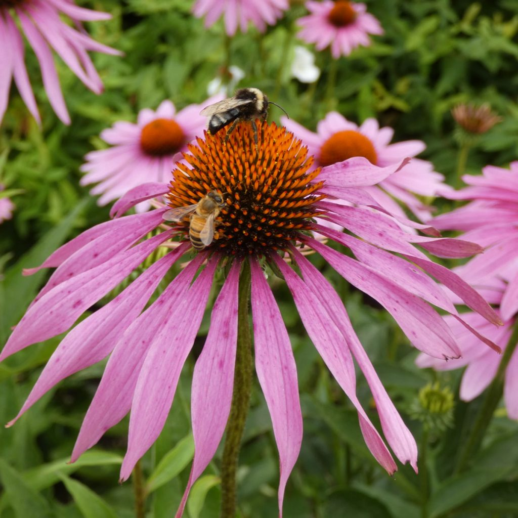 insektenfreundliche Pflanzen: Sonnenhut