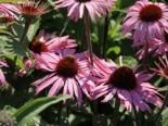 Insektenfreundliche Pflanzen: Was Bienen, Hummeln & Co wirklich schmeckt 3