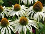 Insektenfreundliche Pflanzen: Was Bienen, Hummeln & Co wirklich schmeckt 10
