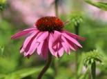 Insektenfreundliche Pflanzen: Was Bienen, Hummeln & Co wirklich schmeckt 6