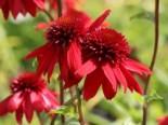 Insektenfreundliche Pflanzen: Was Bienen, Hummeln & Co wirklich schmeckt 2