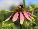 Insektenfreundliche Pflanzen: Was Bienen, Hummeln & Co wirklich schmeckt 25