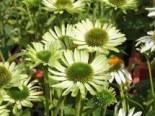 Scheinsonnenhut 'Green Jewel', Echinacea purpurea 'Green Jewel', Topfware 1