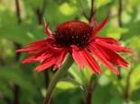 Insektenfreundliche Pflanzen: Was Bienen, Hummeln & Co wirklich schmeckt 12
