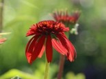 Insektenfreundliche Pflanzen: Was Bienen, Hummeln & Co wirklich schmeckt 1