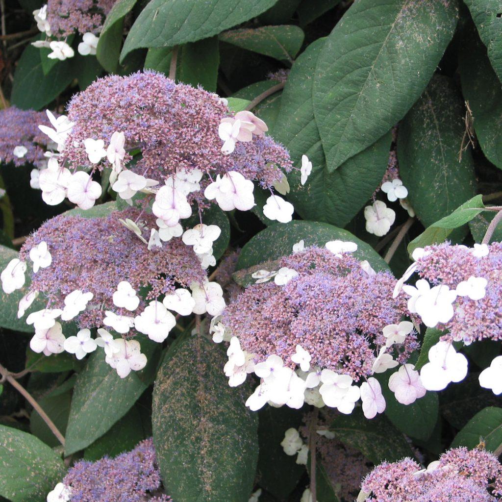 Hortensien-Arten: Ungewöhnliche und eindrucksvolle Sorten 7