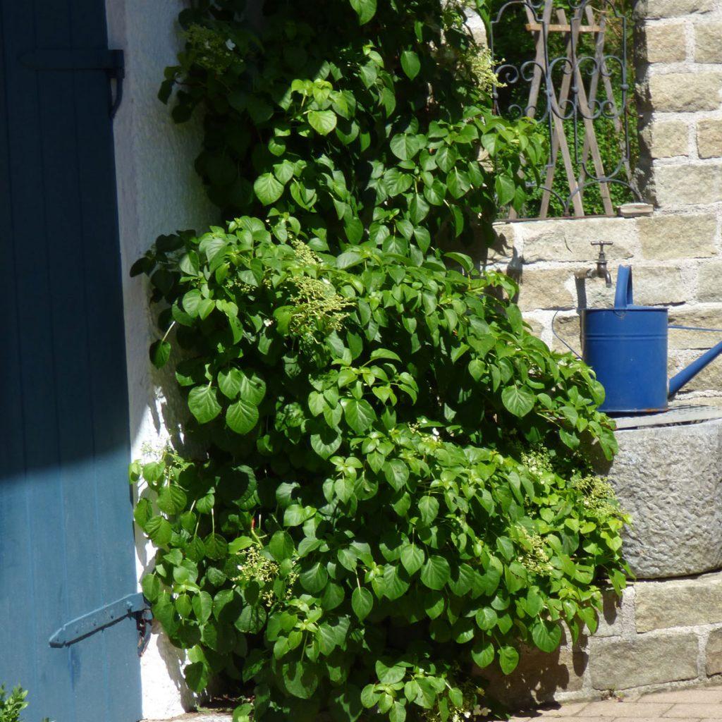 Hortensien-Arten: Ungewöhnliche und eindrucksvolle Sorten 8