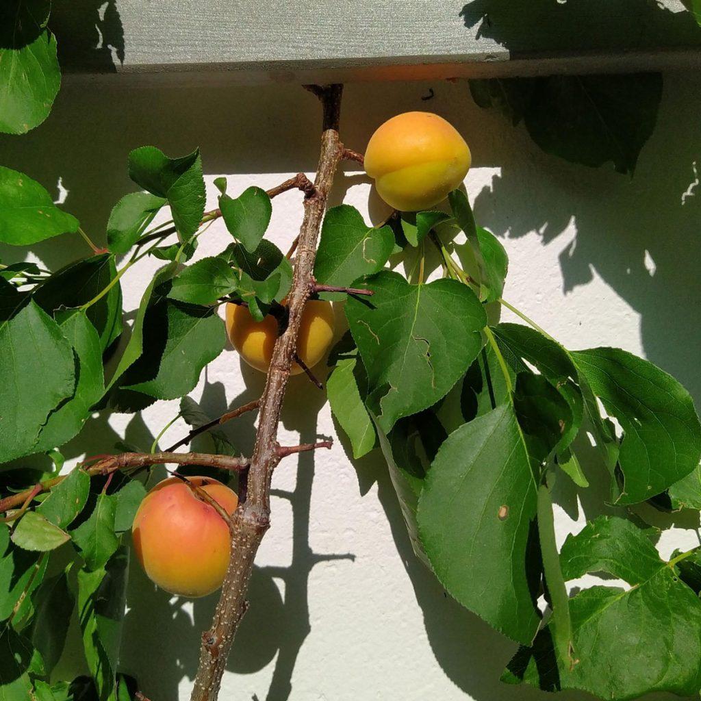 Obstbäume für kleine Gärten 4