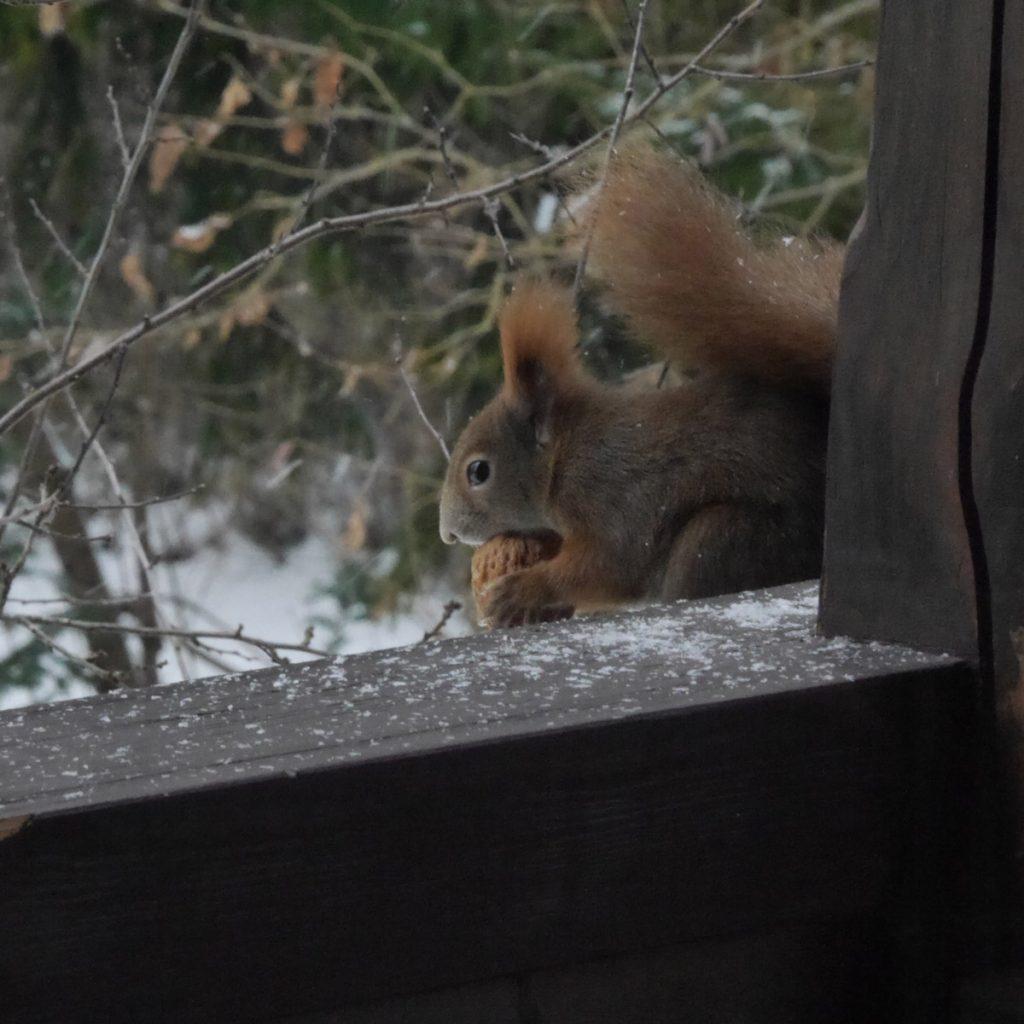 Eichhörnchen auf den Balkon locken