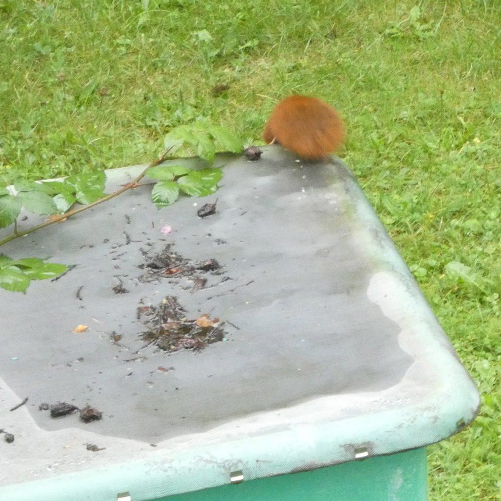 Netz auf der Regentonne rettet Eichhörnchen