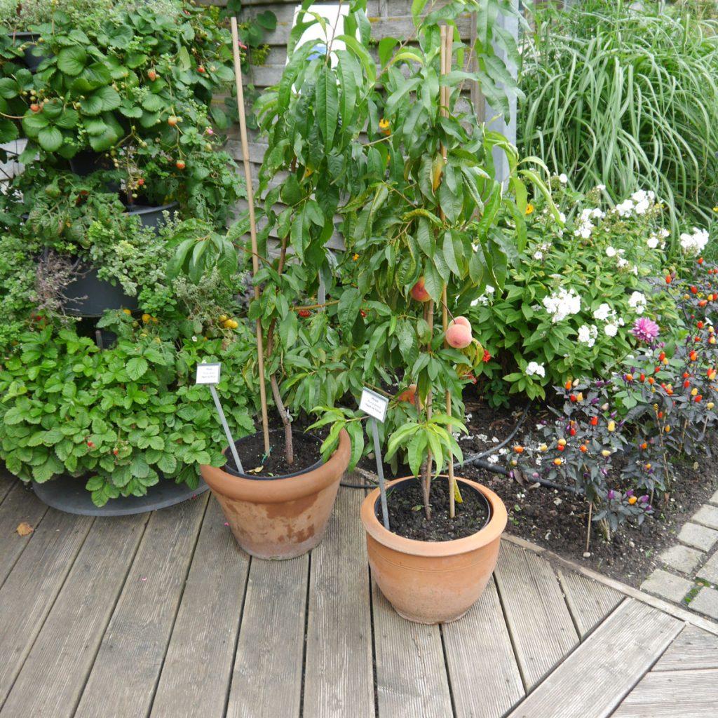 Obstbäume für kleine Gärten 2