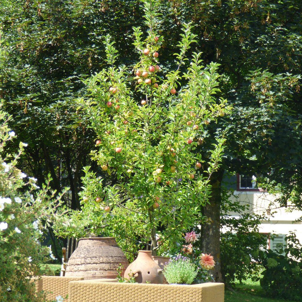 Obstbäume für kleine Gärten 3