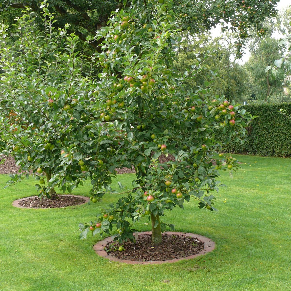 Obstbäume für kleine Gärten