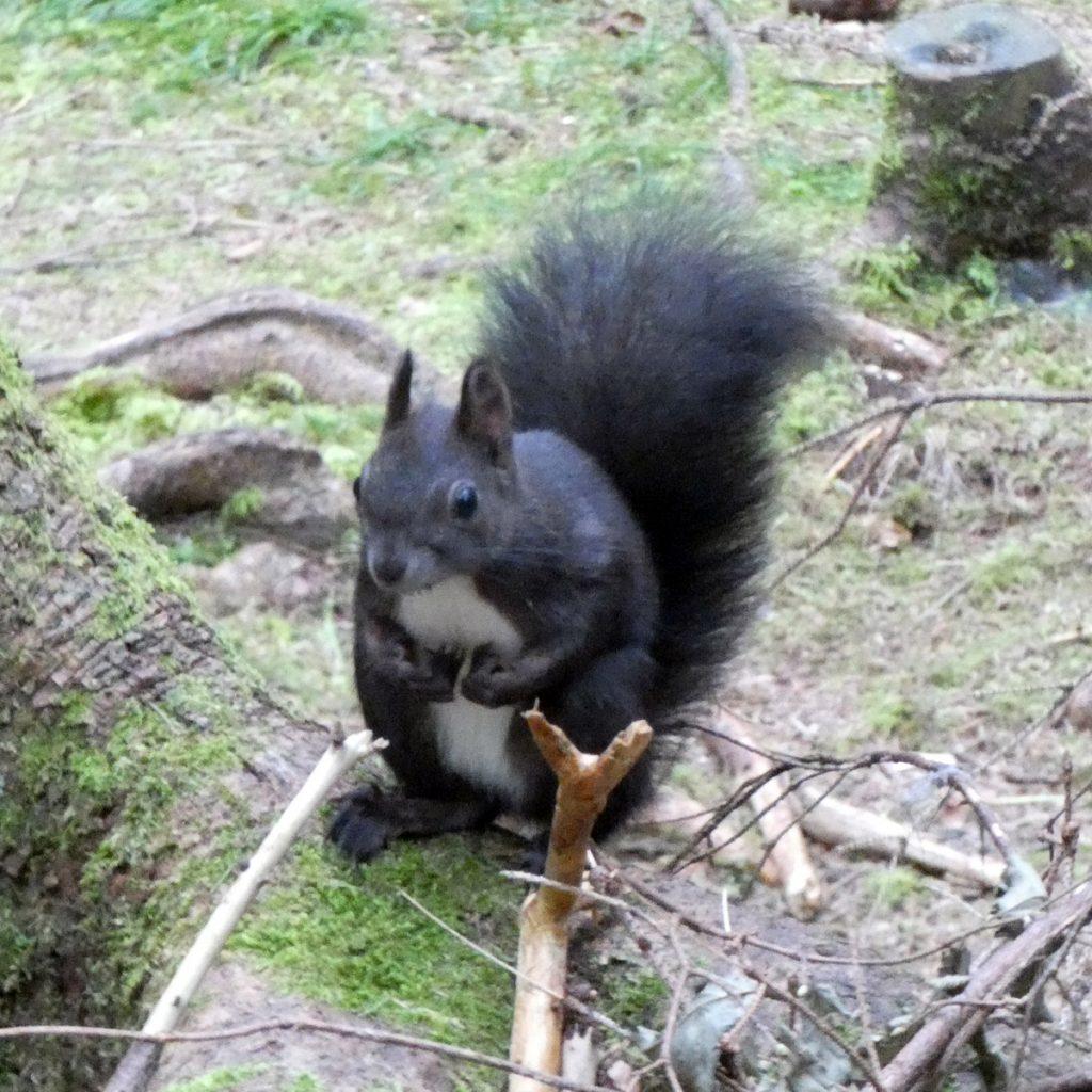 Schwarzes Eichhörnchen mit weißem Bauch