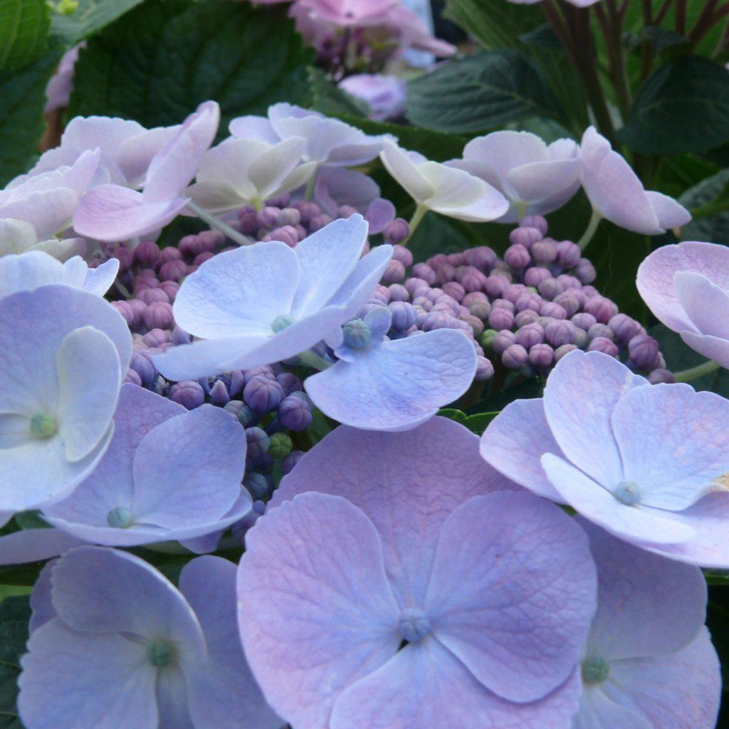 Hortensien-Arten: Ungewöhnliche und eindrucksvolle Sorten 6