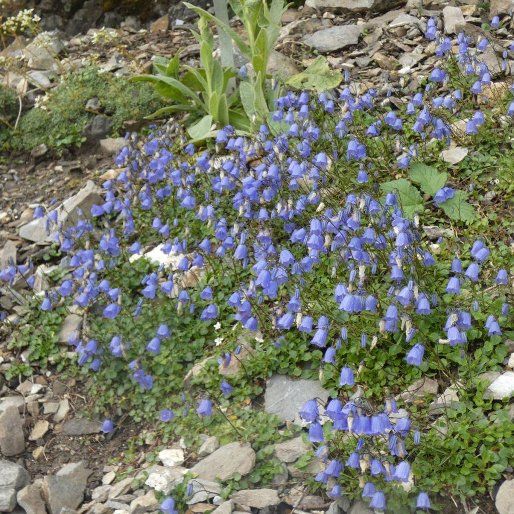 Alpengarten anlegen: Ideen für einen ganz besonderen Steingarten 7
